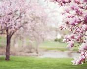magnolia-trees